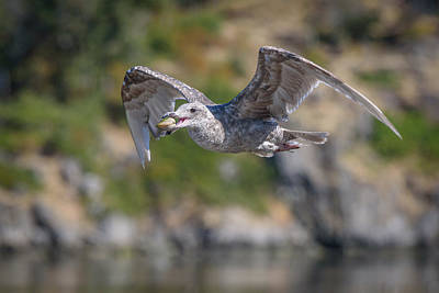 Photograph - Seagull With A Clam by Keith Boone