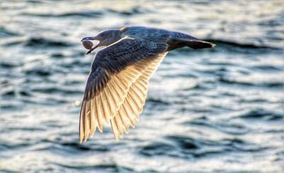 Photograph - Seagull With Clam by Sumoflam Photography
