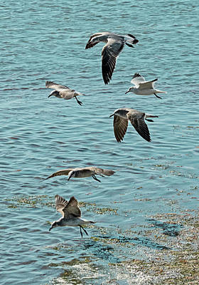 Photograph - Seagulls And Terns In Key West by Bob Slitzan