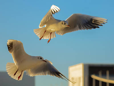 Photograph - Seagulls Spreading Wings by Alexandre Martins