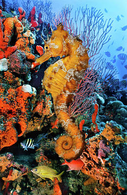 Photograph - Seahorse At A Magical Reef by Debra and Dave Vanderlaan
