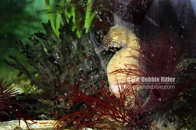 Photograph - Seahorse by Captain Debbie Ritter