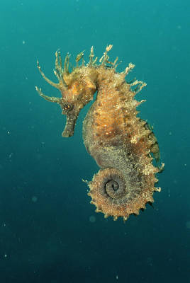 Undersea Photograph - Seahorse by Gerald Nowak