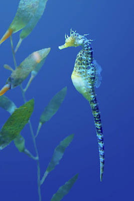 Exotic Creatures Photograph - Seahorse by Nikolyn McDonald