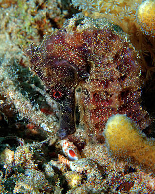 Photograph - Seahorse, Sea Pony, Red Sea, Israel 2 by Pauline Walsh Jacobson