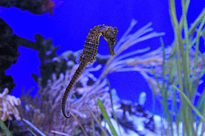 Photograph - Seahorse by Shoal Hollingsworth