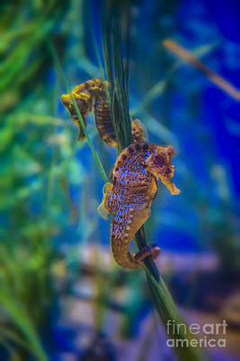 Photograph - Seahorses Small Marine Fishes by David Zanzinger
