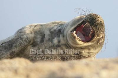 Photograph - Seal 9979 by Captain Debbie Ritter