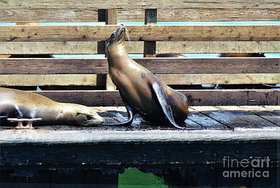 Photograph - Seal Cheerleader by Debby Pueschel