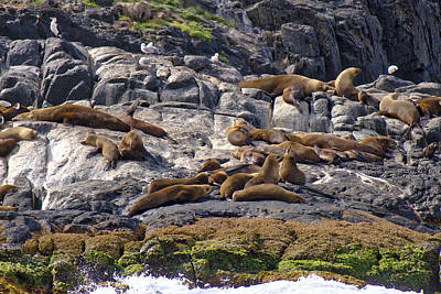 Photograph - Seal Colony - Montague Island - Australia by Steven Ralser