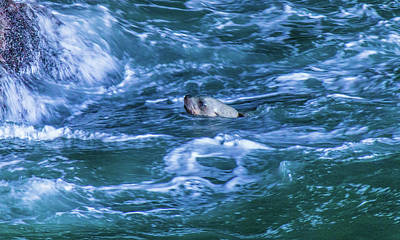 Photograph - Seal In Teh Water by Jonny D