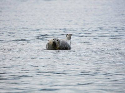 Photograph - Seal In The Ocean by Gloria Anderson