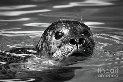 Photograph - Seal In Water by Giovanni Malfitano