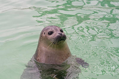 Photograph - Seal In Water by Patricia Hofmeester