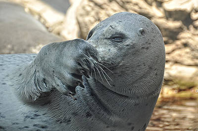 Photograph - Seal Love I Got My Nose by Joanne Brown