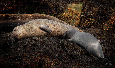 Photograph - Seal Nursing Pup by David A Lane
