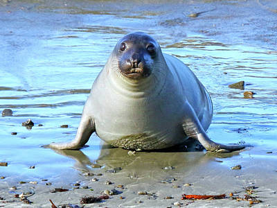 Photograph - Seal On Seal Beach by Mercedes Martishius