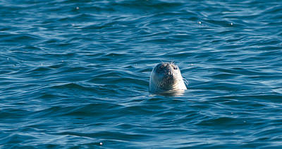 Photograph - Seal by Paul Mangold