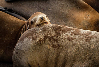Photograph - Seal Pillow by Jean Noren