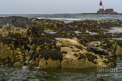 Photograph - Seals And Lighthouse by Elvis Vaughn