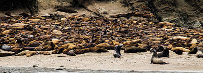 Photograph - Seals And Sea Lions by TL Mair