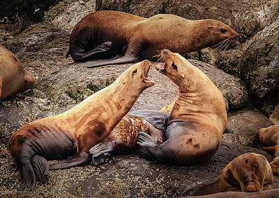 Photograph - Seals In Disagreement by Joni Eskridge