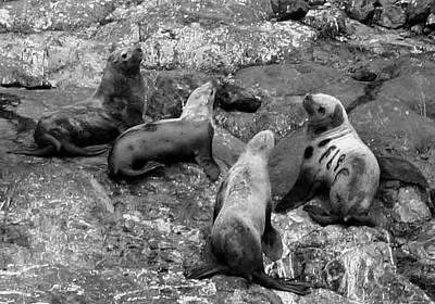 Photograph - Seals by Mario Marsilio