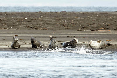 Family Love Photograph - Seals Of Hvitserkur by Betsy Knapp