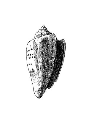 Drawing - Seashell 1 by Masha Batkova