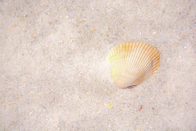 Photograph - Seashell by Pamela Williams