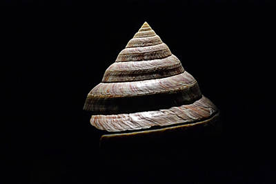 Photograph - Seashell Spiral On Black by Nadalyn Larsen