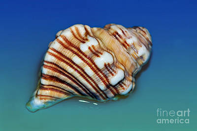 Photograph - Seashell Wall Art 1 by Kaye Menner