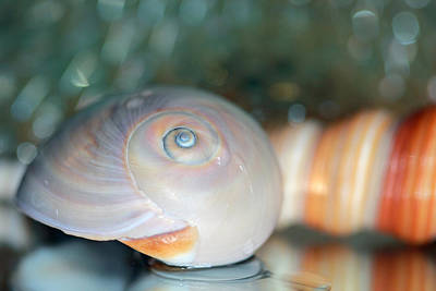 Photograph - Seashell With Green Background by Angela Murdock