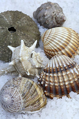 Beach Royalty-Free and Rights-Managed Images - Seashells by Frank Tschakert