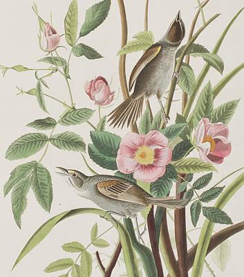 Finch Drawing - Seaside Finch by John James Audubon