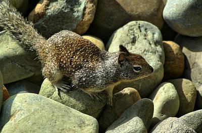 Photograph - Seaside Ground Squirrel by Michael Gordon