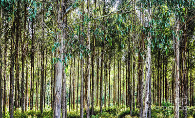 Photograph - Seaside Gum Trees by Lexa Harpell