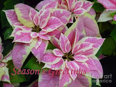 Photograph - Season's Greetings Poinsettias by Lingfai Leung