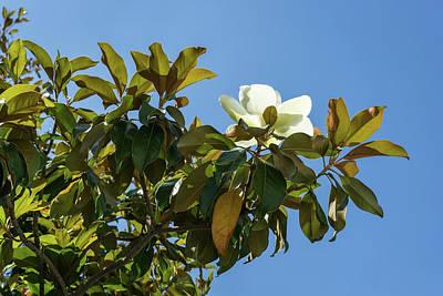 Photograph - Second Bloom - Unusual Autumn Magnolia Blossom by Georgia Mizuleva