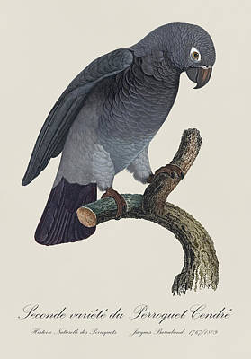 Parakeet Painting - Seconde Variete Du Perroquet Cendre / Timneh Grey Parrot - Restored 19th C. Illust. By Barraband by Jose Elias - Sofia Pereira