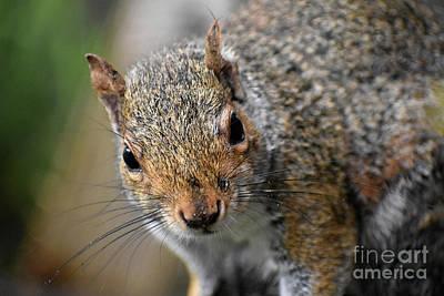 Photograph - Secret Agent Squirrel Portrait by Rose De Dan
