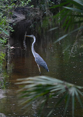 Photograph - Secret Creek - Great Blue Heron by rd Erickson