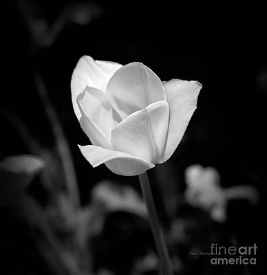Photograph - Secret Garden White Tulip Square by John Stephens