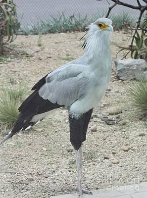 Photograph - Secretary Bird by John Telfer