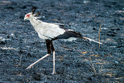 Photograph - Secretary Bird by Marilyn Burton