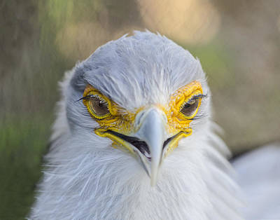 Photograph - Secretary Bird Portrait by William Bitman