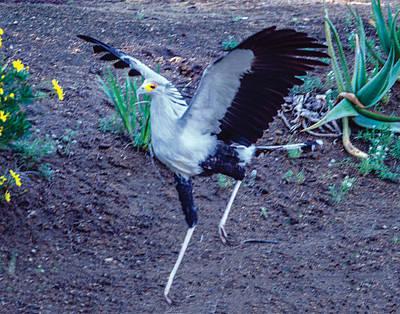 Photograph - Secretary Bird Running by William Bitman