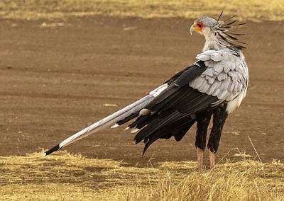 Photograph - Secretary Bird Tanzania by Tim Bryan