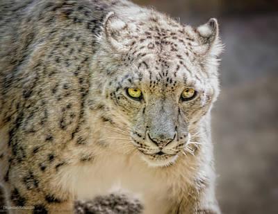 Photograph - Secretive Snow Leopard by LeeAnn McLaneGoetz McLaneGoetzStudioLLCcom