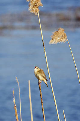 Photograph - Sedge Warbler And Reeds by Jouko Lehto